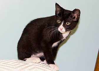 Domestic Shorthair Kitten for adoption in Dallas, Texas - Elisa