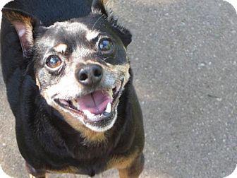 Miniature Pinscher Dog for adoption in Lansing, Michigan - Rufus in Michigan