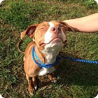 Pit Bull Terrier Mix Dog for adoption in University Park, Illinois - Calypso