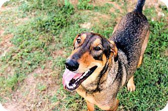 Doberman Pinscher/German Shepherd Dog Mix Dog for adoption in Millington, Tennessee - Sadie