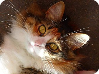 Domestic Longhair Cat for adoption in Los Alamitos, California - Lily AKA ZuZu