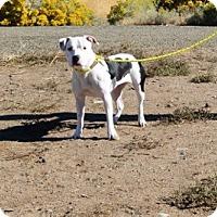 Adopt A Pet :: Jules - Gardnerville, NV