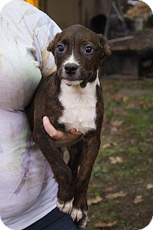 Chesapeake Bay Retriever/Border Collie Mix Puppy for adoption in Albany, New York - Grant