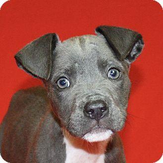 Pit Bull Terrier Mix Puppy for adoption in Jackson, Michigan - Splinter