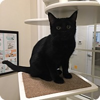 Domestic Shorthair Cat for adoption in Peace Dale, Rhode Island - Endora