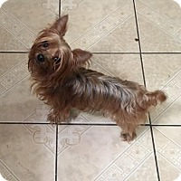 Yorkie, Yorkshire Terrier Dog for adoption in Spring, Texas - Zeke