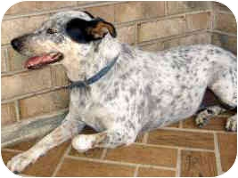 ... | Adopted Dog | Concord, CA | Blue Heeler/Catahoula Leopard Dog Mix