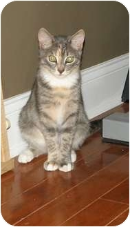 Domestic Shorthair Kitten for adoption in Barnegat, New Jersey - Penny