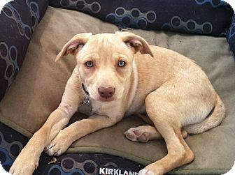 Terrier (Unknown Type, Medium) Mix Puppy for adoption in Scottsdale, Arizona - Valentina