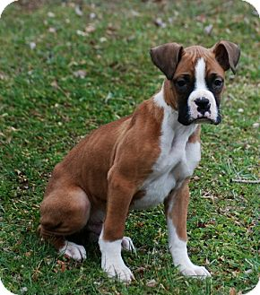 Boxer Puppy for adoption in Providence, Rhode Island - Kobi