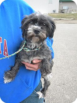 Havanese/Dachshund Mix Dog for adoption in River Falls, Wisconsin - Raven