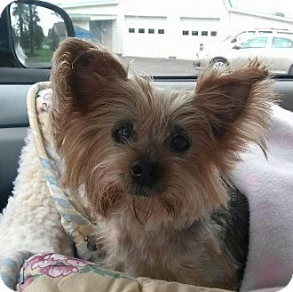 Yorkie, Yorkshire Terrier Dog for adoption in Youngstown, Ohio - Bella ~ Adoption Pending