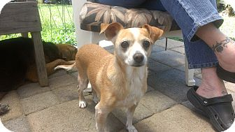 Chihuahua Dog for adoption in Burbank, California - Ginger