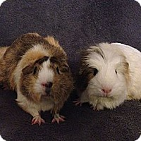 Adopt A Pet :: Elphaba and Glinda (OCCH pigs) - Fullerton, CA
