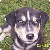 Adopt A Pet :: Blue eyed babies Wilder - Southampton, PA