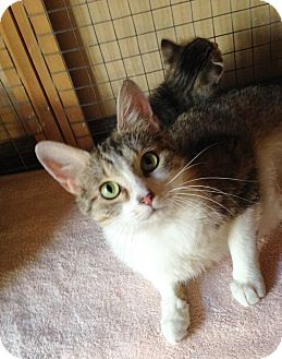 Domestic Shorthair Cat for adoption in St. Charles, Illinois - Luxanna
