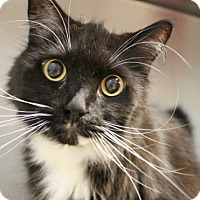Domestic Longhair Cat for adoption in Hilton Head, South Carolina - Ben