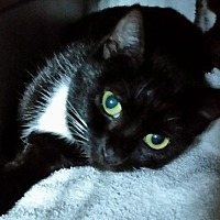 Domestic Shorthair Cat for adoption in Sunny Isles Beach, Florida - A Chiquita - BLIND CAT