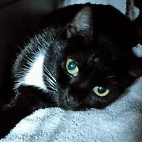 Adopt A Pet :: A Chiquita - BLIND CAT - Sunny Isles Beach, FL