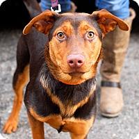 Adopt A Pet :: Chili-Adopted! - Detroit, MI