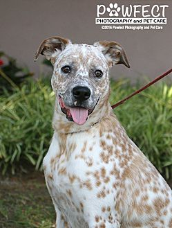 Dalmatian/Shepherd (Unknown Type) Mix Dog for adoption in Gardena, California - Donny