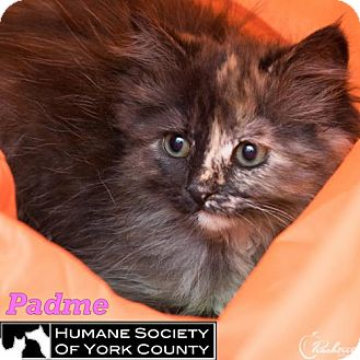 Domestic Mediumhair Cat for adoption in Fort Mill, South Carolina - Padme