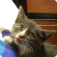 Domestic Shorthair Kitten for adoption in Smyrna, Georgia - Herbie
