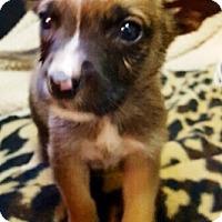 Adopt A Pet :: I'M ADOPTED Boxadors Brie Leff - Oswego, IL