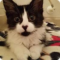 Adopt A Pet :: Purrito Caliente - Fort Collins, CO