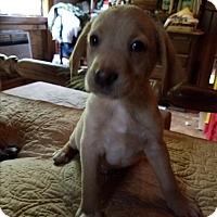 Adopt A Pet :: Lindsay - Charlestown, RI