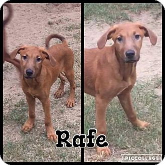 Hound (Unknown Type)/Labrador Retriever Mix Puppy for adoption in Shaw AFB, South Carolina - Rafe