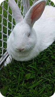 Flemish Giant for adoption in East Stroudsburg, Pennsylvania - Dino