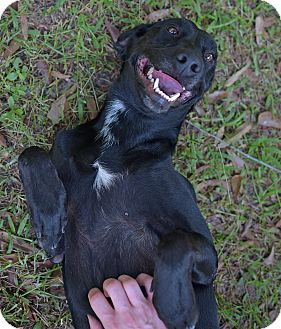 Labrador Retriever Mix Dog for adoption in Covington, Louisiana - Cheshire Cat