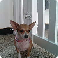 Chihuahua Mix Dog for adoption in Thousand Oaks, California - Lovey