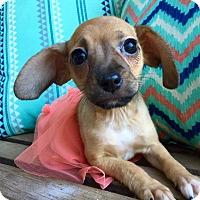 Adopt A Pet :: Miss Charlotte (rbf) - Washington, DC