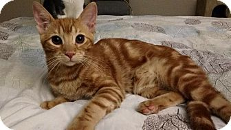Domestic Shorthair Kitten for adoption in Santa Ana, California - Foxfire