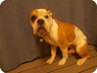American Bulldog Mix Dog for adoption in Upper Marlboro, Maryland - CAPONE