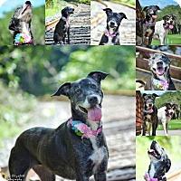 Retriever (Unknown Type)/Greyhound Mix Dog for adoption in Clearwater, Florida - Maggie