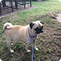 Pug Mix Dog for adoption in Tontitown, Arkansas - Aunt Mabel