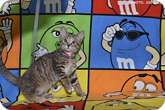 Domestic Shorthair Kitten for adoption in Medina, Ohio - Ginger Spice