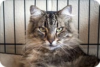 Maine Coon Cat for adoption in Napa, California - Harper