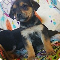 Adopt A Pet :: Sif - Nashua, NH