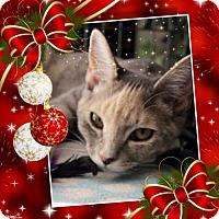 Domestic Shorthair Cat for adoption in Cincinnati, Ohio - Monet