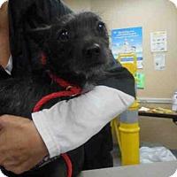 Adopt A Pet :: IGGY - Louisville, KY