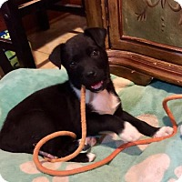 Adopt A Pet :: Oliver aka Ollie - Munford, TN