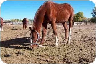 Standardbred Mix for adoption in Pueblo, Colorado - Romeo