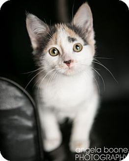 Domestic Shorthair Kitten for adoption in Eagan, Minnesota - Topeka