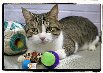 Hemingway/Polydactyl Cat for adoption in Elmwood Park, New Jersey - Hutch