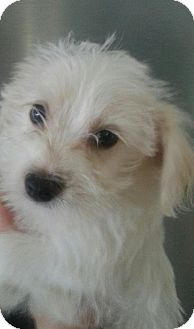 Maltese/Yorkie, Yorkshire Terrier Mix Puppy for adoption in Silver Lake, Wisconsin - SNOW