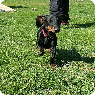 Dachshund Mix Puppy for adoption in Alexandria, Virginia - Trooper